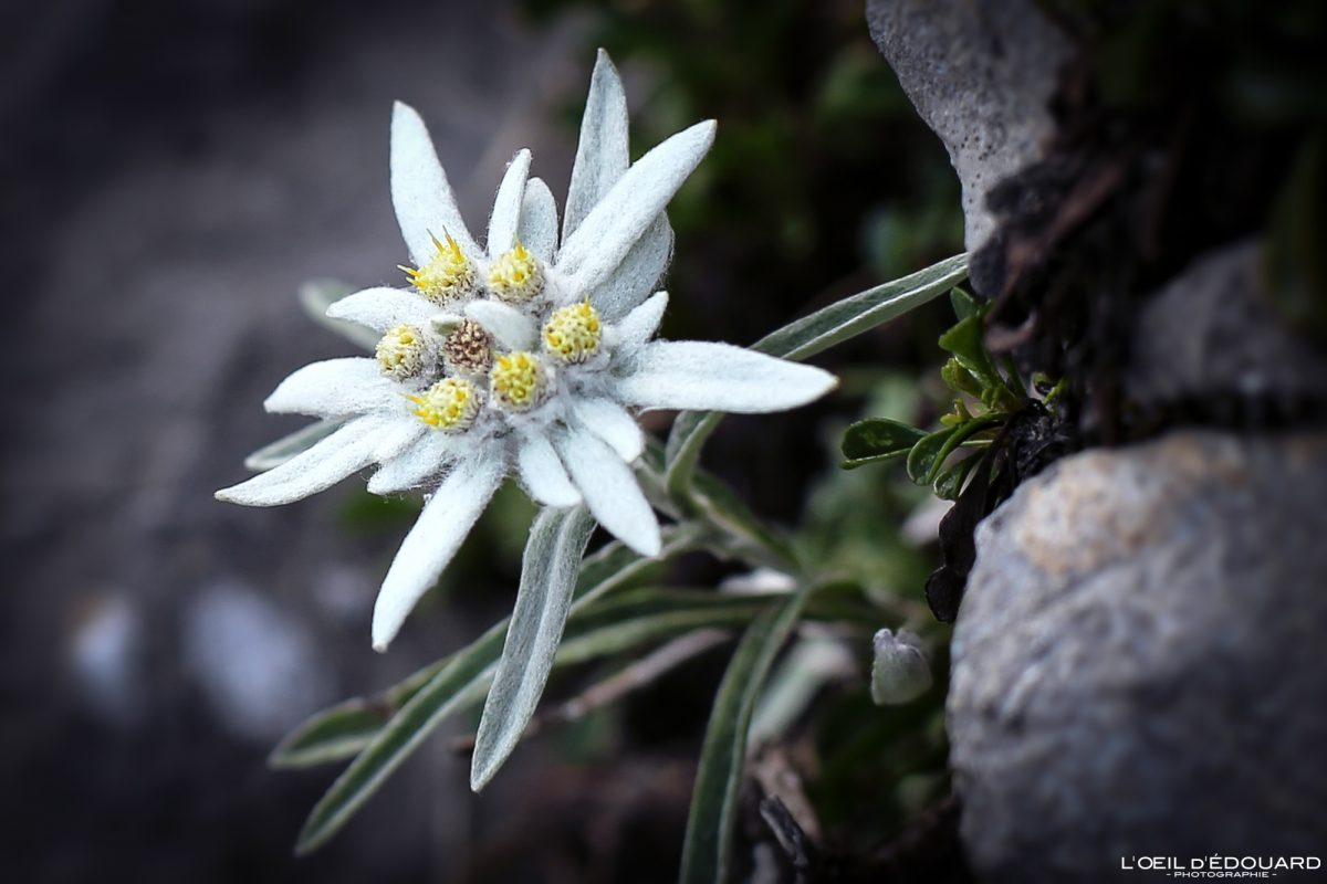 Edelweiss Arcalod Massif des Bauges Savoie Alpes France Fleur Montagne - Mountain Flower French Alps Outdoor