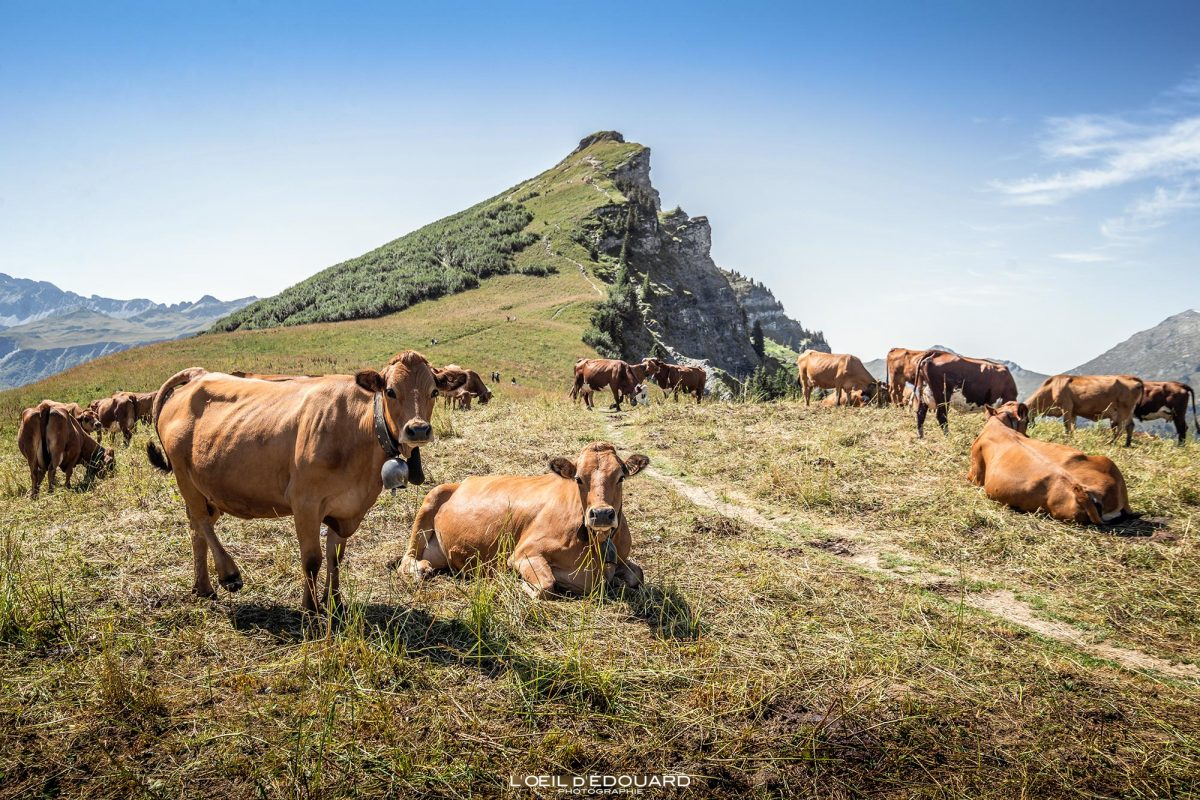 Vaches Tarines Beaufortain Alpage Randonnée Roche Parstire Savoie Alpes France Paysage Montagne - Cows Mountain Landscape French Alps Outdoor Hike Hiking